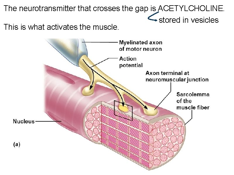 The neurotransmitter that crosses the gap is ACETYLCHOLINE. This is what activates the muscle.