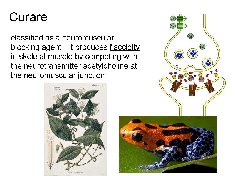 Curare classified as a neuromuscular blocking agent—it produces flaccidity in skeletal muscle by competing