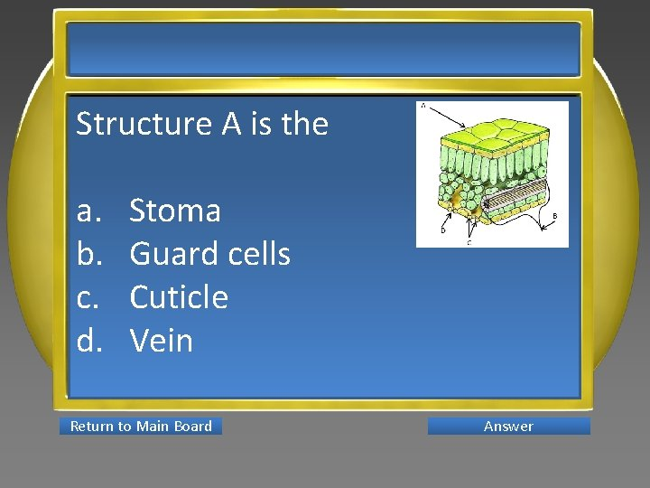 Structure A is the a. b. c. d. Stoma Guard cells Cuticle Vein Return