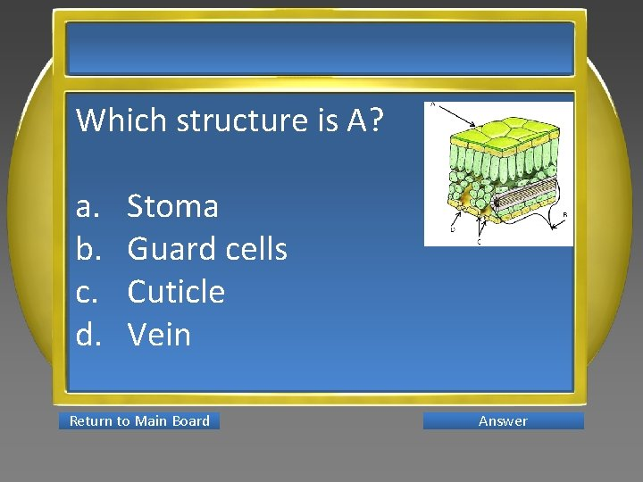 Which structure is A? a. b. c. d. Stoma Guard cells Cuticle Vein Return