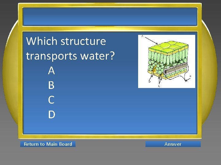 Which structure transports water? A B C D Return to Main Board Answer