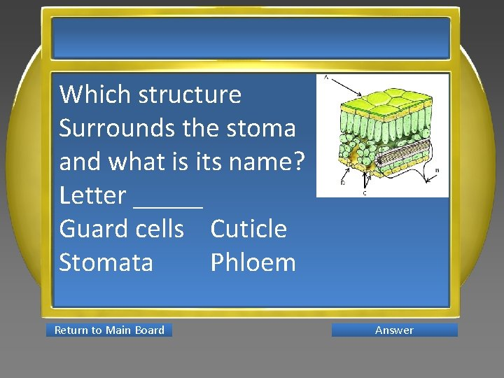 Which structure Surrounds the stoma and what is its name? Letter _____ Guard cells