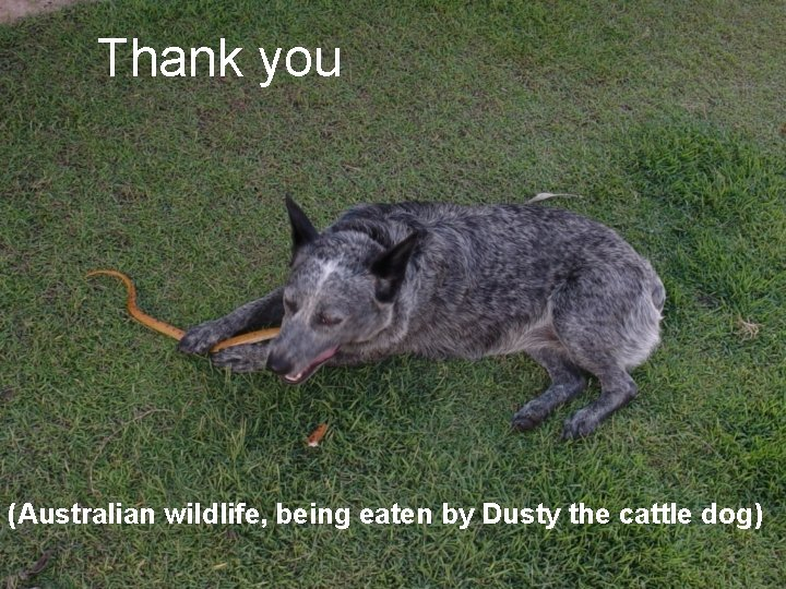 Thank you (Australian wildlife, being eaten by Dusty the cattle dog)