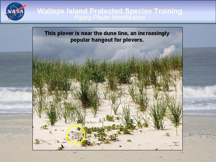 Wallops Island Protected Species Training Piping Plover Identification This plover is near the dune