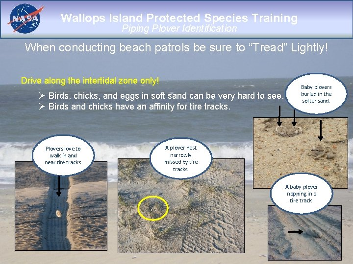 Wallops Island Protected Species Training Piping Plover Identification When conducting beach patrols be sure