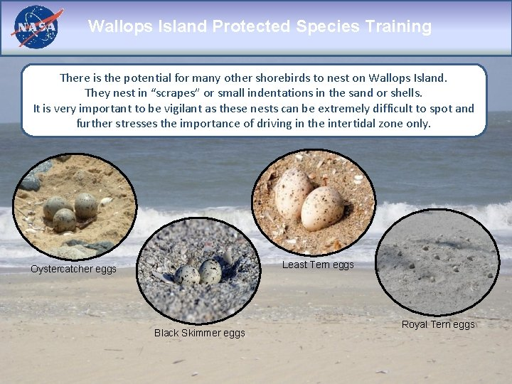 Wallops Island Protected Species Training There is the potential for many other shorebirds to