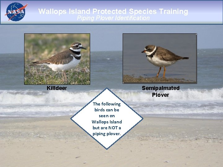 Wallops Island Protected Species Training Piping Plover Identification Killdeer Semipalmated Plover The following birds