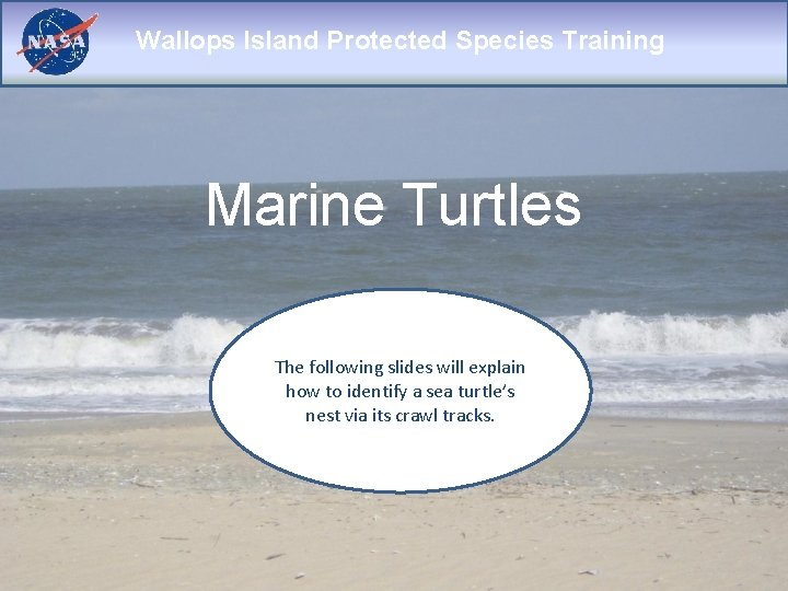 Wallops Island Protected Species Training Marine Turtles The following slides will explain how to