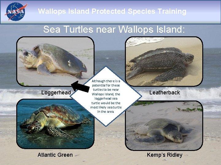 Wallops Island Protected Species Training Sea Turtles near Wallops Island: Loggerhead Atlantic Green Although