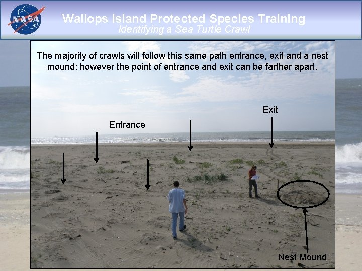 Wallops Island Protected Species Training Identifying a Sea Turtle Crawl The majority of crawls