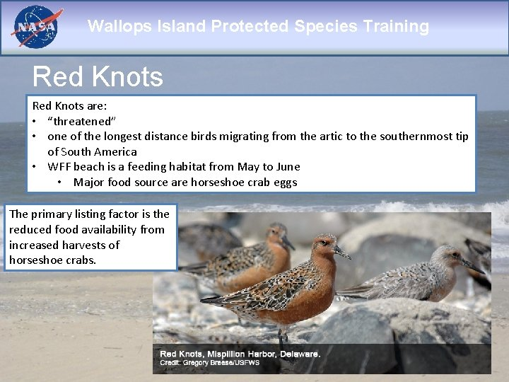 """Wallops Island Protected Species Training Red Knots are: • """"threatened"""" • one of the"""