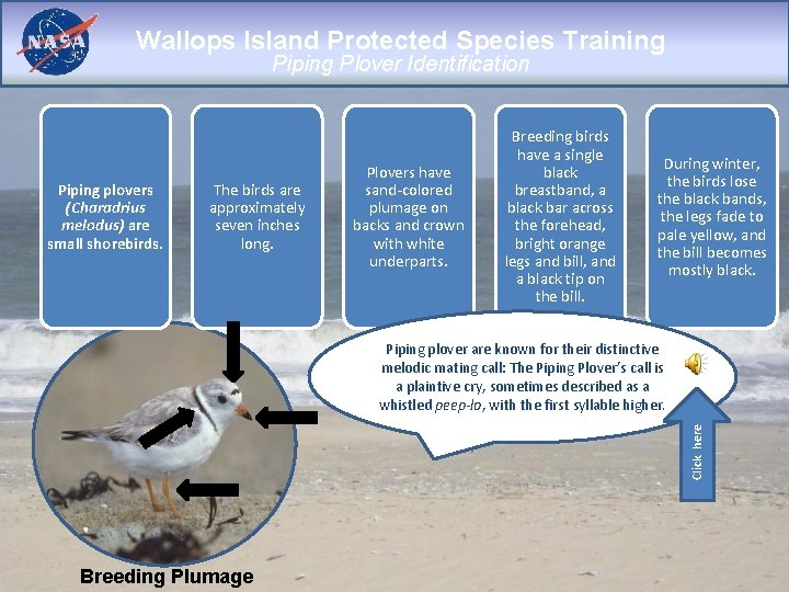 Wallops Island Protected Species Training Piping Plover Identification Piping plovers (Charadrius melodus) are small