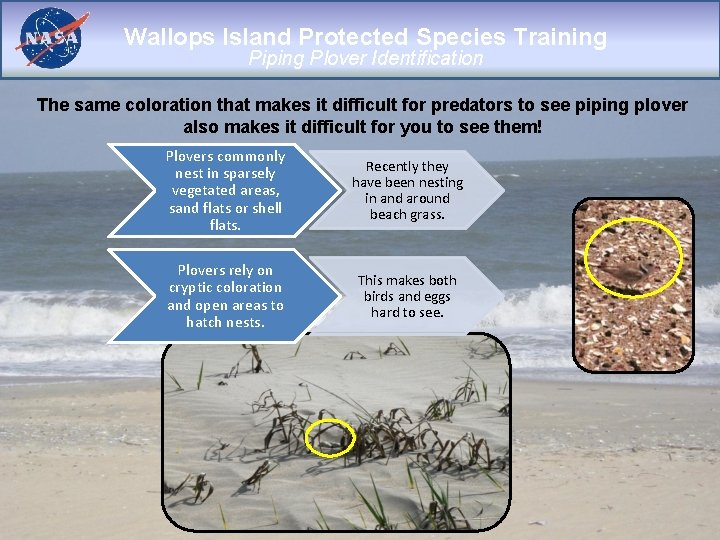 Wallops Island Protected Species Training Piping Plover Identification The same coloration that makes it