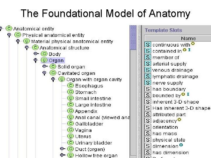 The Foundational Model of Anatomy