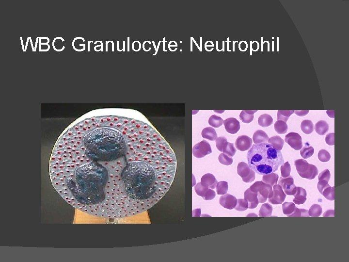 WBC Granulocyte: Neutrophil