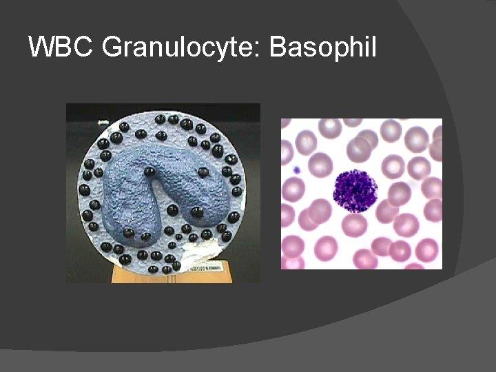 WBC Granulocyte: Basophil