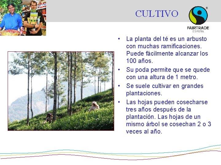 CULTIVO • La planta del té es un arbusto con muchas ramificaciones. Puede fácilmente