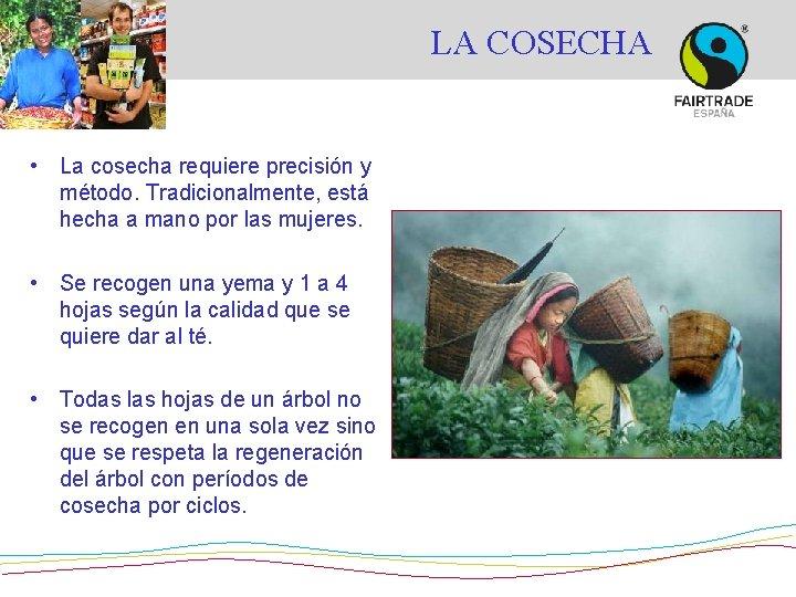 LA COSECHA • La cosecha requiere precisión y método. Tradicionalmente, está hecha a mano