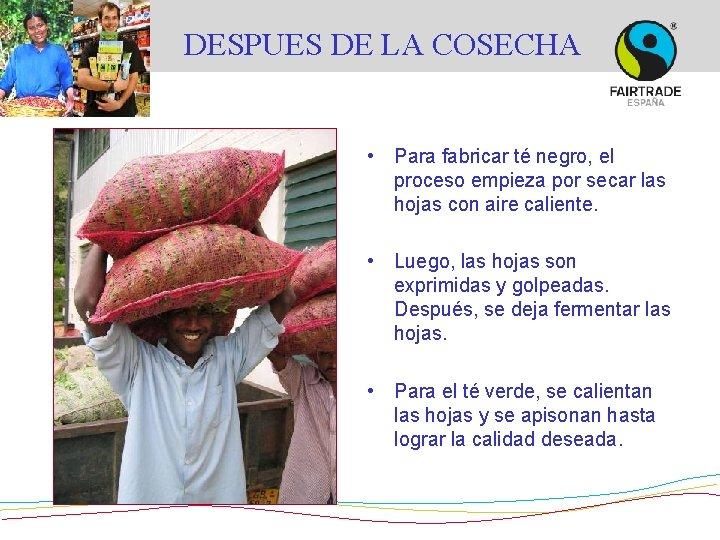 DESPUES DE LA COSECHA • Para fabricar té negro, el proceso empieza por secar