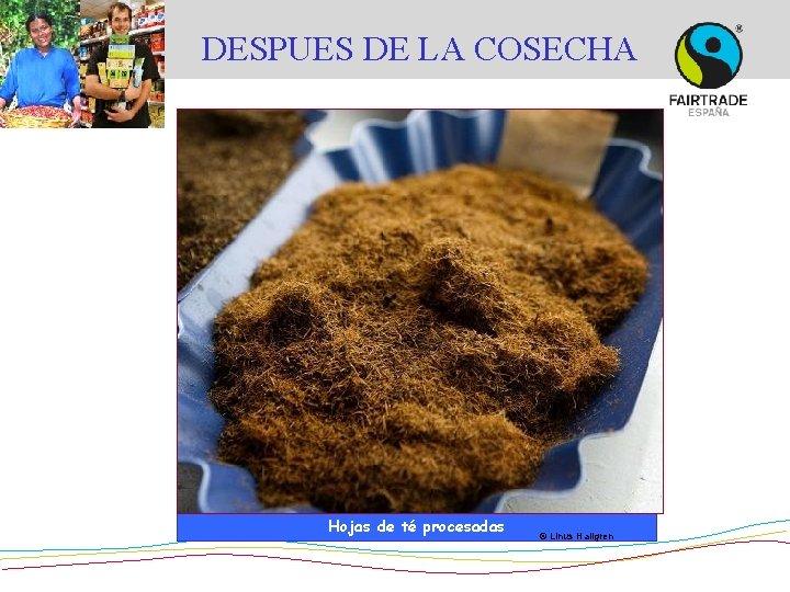 DESPUES DE LA COSECHA © Asociación azucarera de El Salvador Hojas de té procesadas