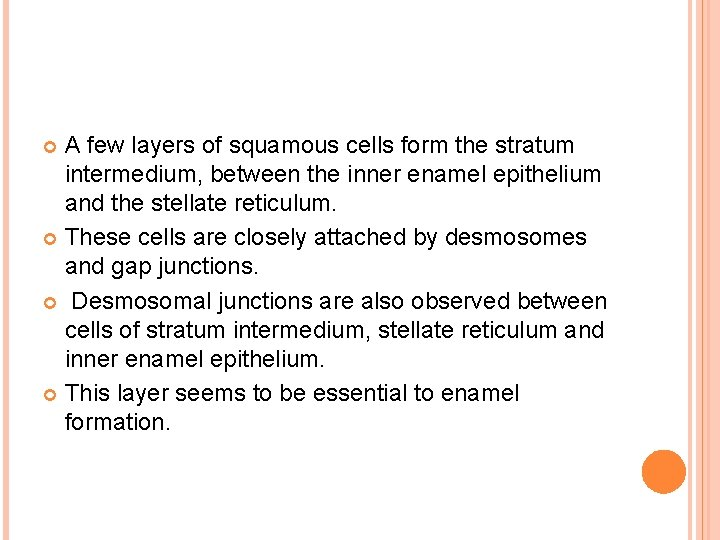 A few layers of squamous cells form the stratum intermedium, between the inner enamel