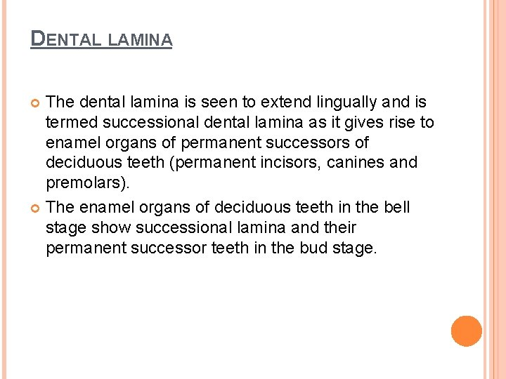 DENTAL LAMINA The dental lamina is seen to extend lingually and is termed successional