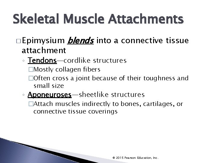 Skeletal Muscle Attachments � Epimysium attachment blends into a connective tissue ◦ Tendons—cordlike structures