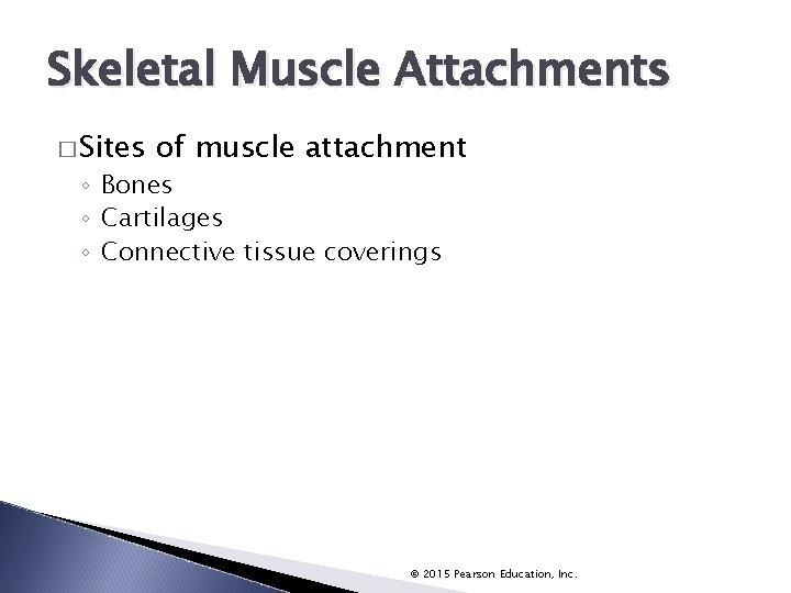 Skeletal Muscle Attachments � Sites of muscle attachment ◦ Bones ◦ Cartilages ◦ Connective