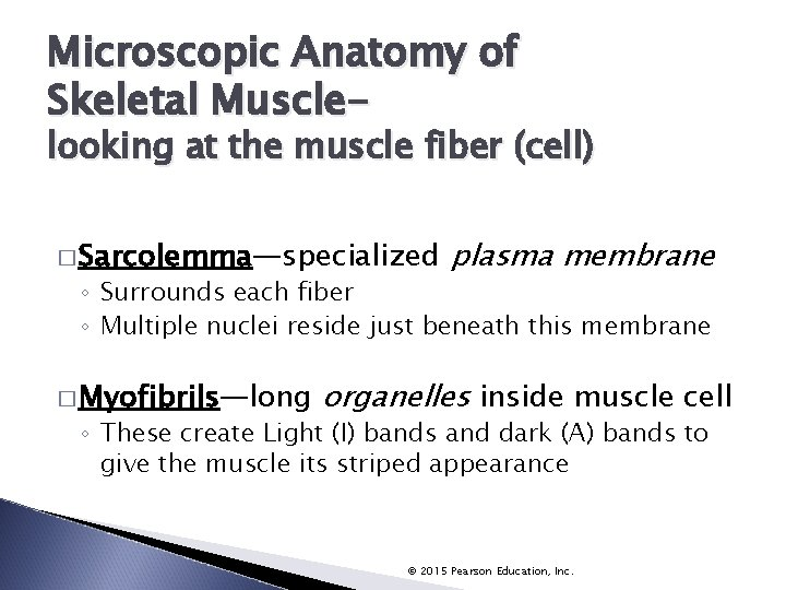 Microscopic Anatomy of Skeletal Muscle- looking at the muscle fiber (cell) � Sarcolemma—specialized plasma