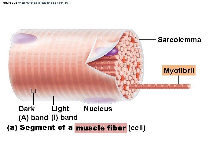Figure 6. 3 a Anatomy of a skeletal muscle fiber (cell). Sarcolemma Myofibril Light