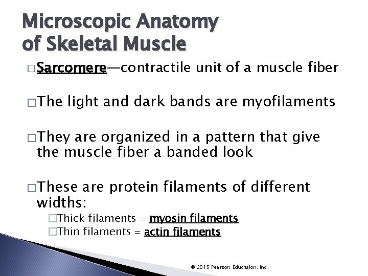 Microscopic Anatomy of Skeletal Muscle � Sarcomere—contractile � The unit of a muscle fiber