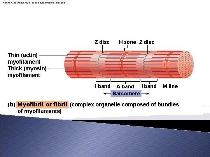 Figure 6. 3 b Anatomy of a skeletal muscle fiber (cell). Z disc H