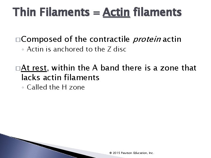 Thin Filaments Actin filaments � Composed of the contractile protein actin ◦ Actin is