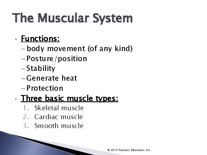 The Muscular System • • Functions: – body movement (of any kind) – Posture/position