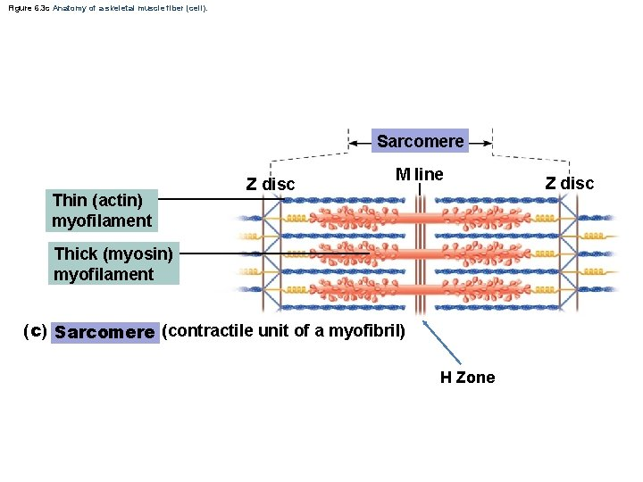Figure 6. 3 c Anatomy of a skeletal muscle fiber (cell). Sarcomere Thin (actin)