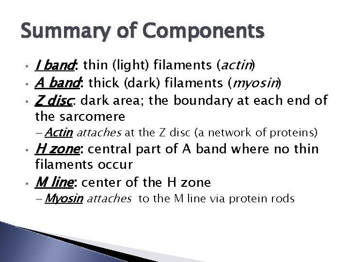 Summary of Components • • • I band: thin (light) filaments (actin) A band: