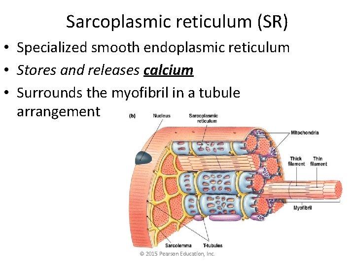 Sarcoplasmic reticulum (SR) • Specialized smooth endoplasmic reticulum • Stores and releases calcium •
