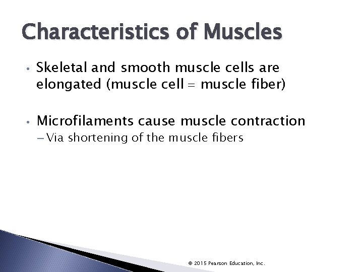 Characteristics of Muscles • • Skeletal and smooth muscle cells are elongated (muscle cell