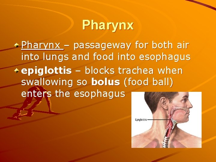 Pharynx – passageway for both air into lungs and food into esophagus epiglottis –