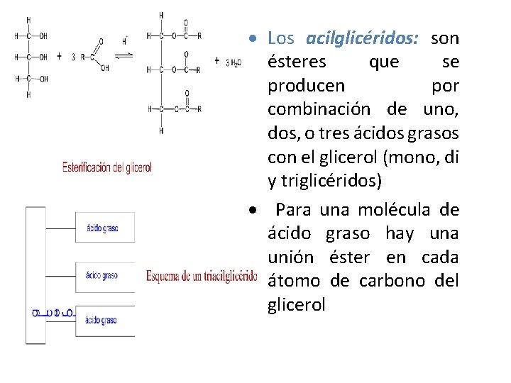 Los acilglicéridos: son ésteres que se producen por combinación de uno, dos, o