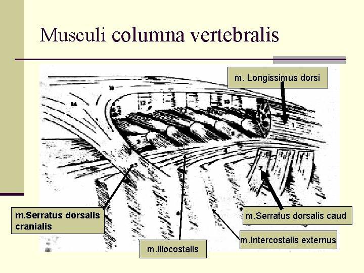 Musculi columna vertebralis m. Longissimus dorsi m. Serratus dorsalis cranialis m. Serratus dorsalis caud