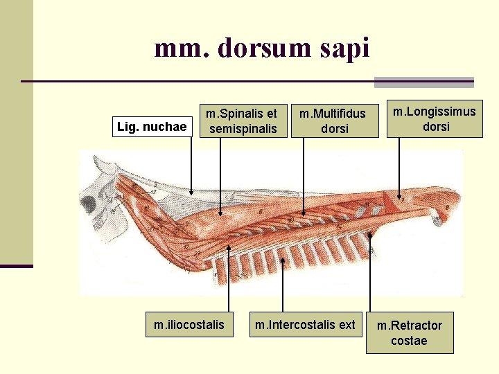 mm. dorsum sapi Lig. nuchae m. Spinalis et semispinalis m. iliocostalis m. Multifidus dorsi
