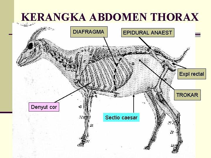 KERANGKA ABDOMEN THORAX DIAFRAGMA EPIDURAL ANAEST Expl rectal TROKAR Denyut cor Sectio caesar