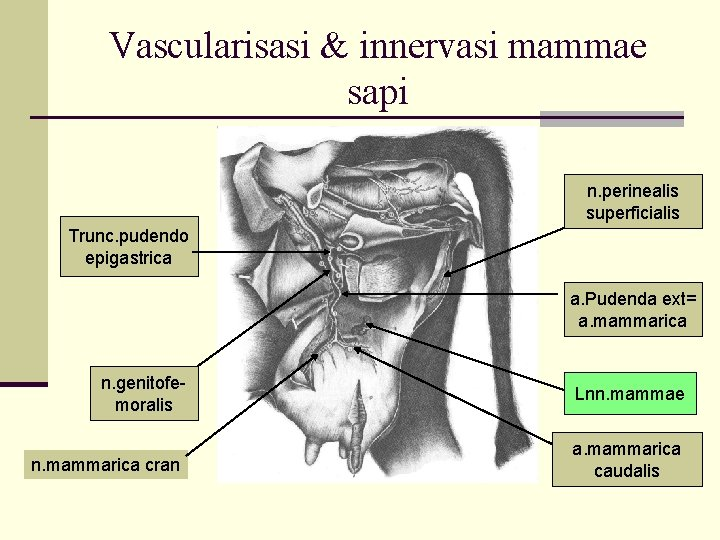 Vascularisasi & innervasi mammae sapi n. perinealis superficialis Trunc. pudendo epigastrica a. Pudenda ext=