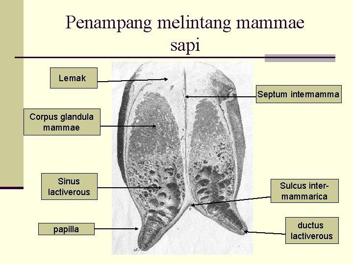 Penampang melintang mammae sapi Lemak Septum intermamma Corpus glandula mammae Sinus lactiverous papilla Sulcus