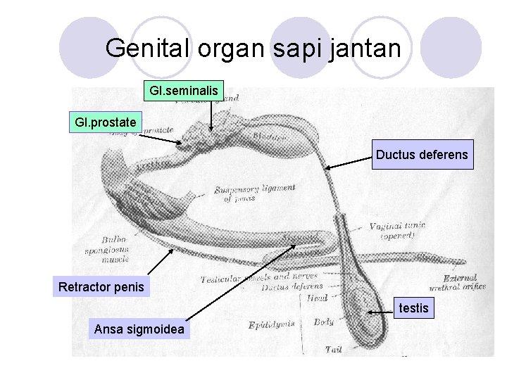 Genital organ sapi jantan Gl. seminalis Gl. prostate Ductus deferens Retractor penis testis Ansa