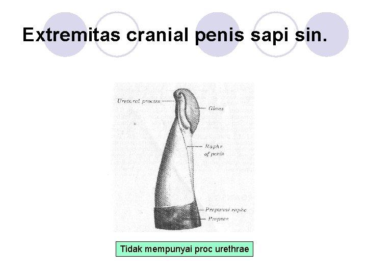 Extremitas cranial penis sapi sin. Tidak mempunyai proc urethrae