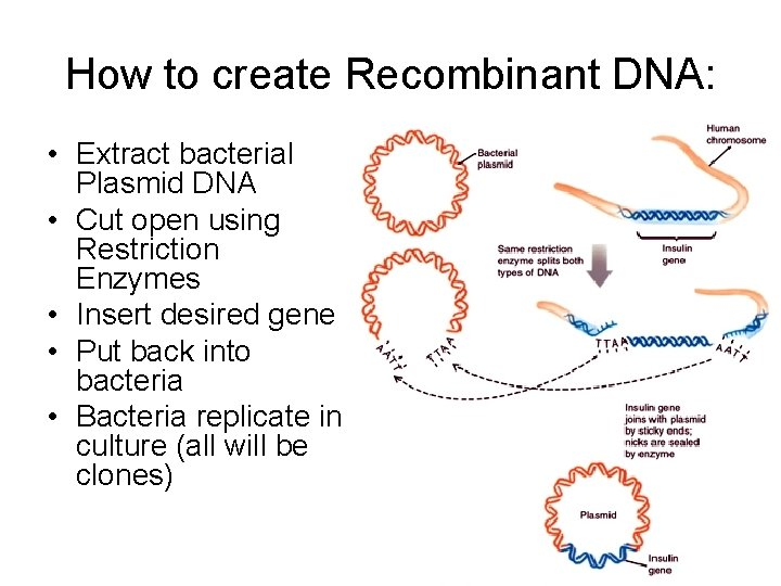 How to create Recombinant DNA: • Extract bacterial Plasmid DNA • Cut open using