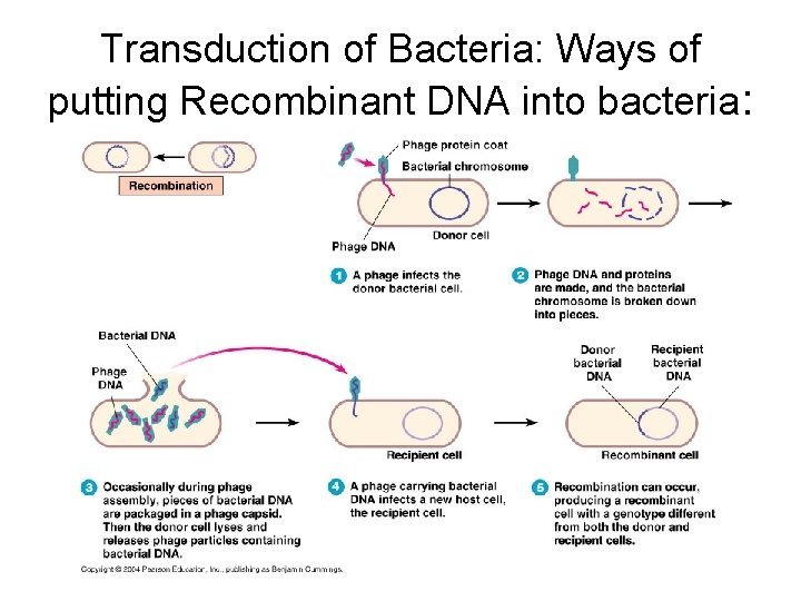 Transduction of Bacteria: Ways of putting Recombinant DNA into bacteria: