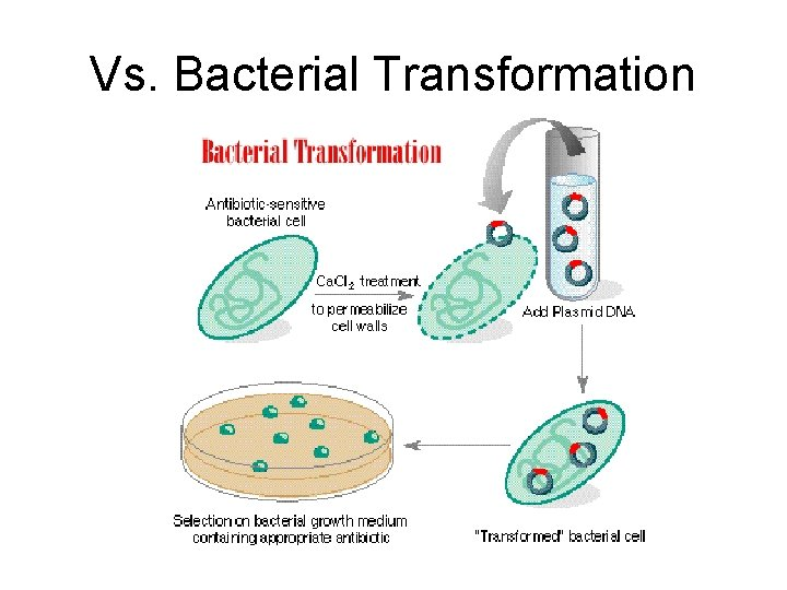Vs. Bacterial Transformation
